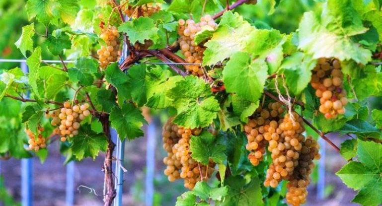 Сорт винограда «настя»