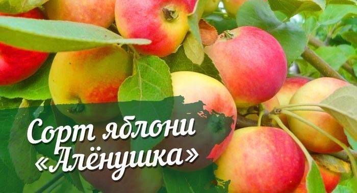 Зимостойкая яблоня папироянтарное