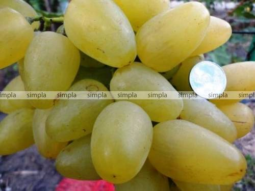 Виноград бажена: описание сорта, его характеристики и особенности, фото