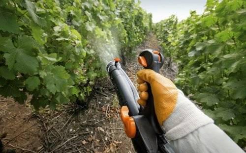 Весенняя обработка винограда 2019 года: опасные болезни винограда, эффективные способы побороть их в зародыше, оптимальные сроки обработки винограда, описание болезней и вредителей с фото