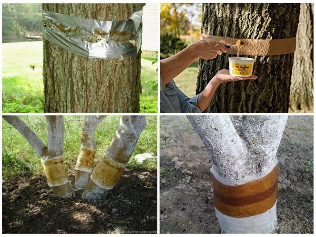 Ловчие пояса от вредителей на деревьях