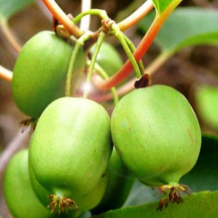 Чтобы добиться большого урожая актинидии, учимся правильно за ней ухаживать