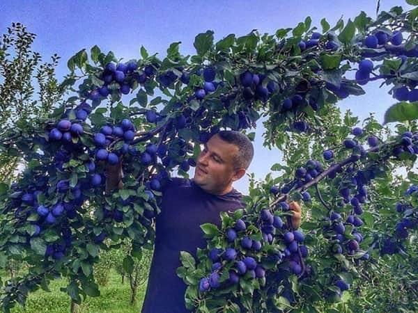 Чем подкормить сливу после цветения: как и чем удобрять сливу? правила использования подкормки и методы применения полезных для сливы веществ (85 фото + видео)