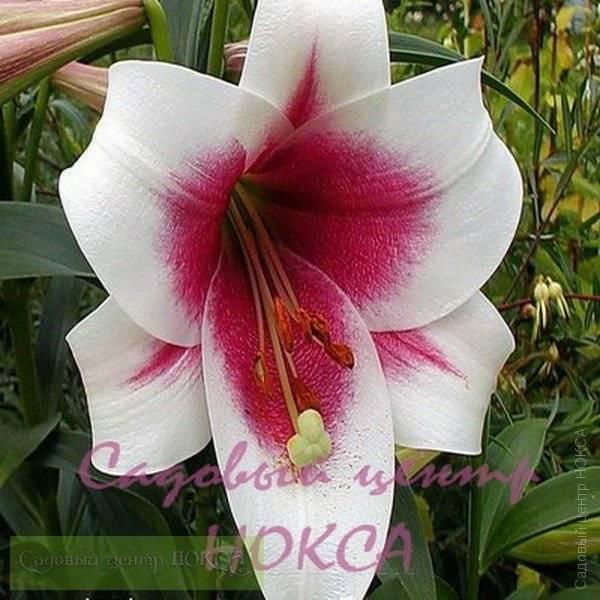 Лилии триумфатор: описание сорта, особенности, размножение и отзывы