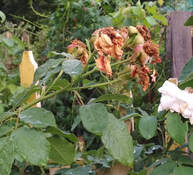 Обрезка роз весной – советы для начинающих цветоводов с видео