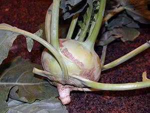 Капуста кольраби - описание, ценность, сорта, посадка и выращивание