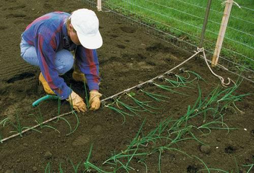 Выращивание рассады лука порей из семян в домашних условиях
