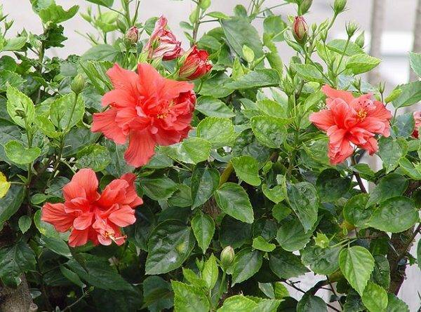 Китайская роза: уход в домашних условиях
