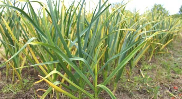 Чем подкормить чеснок весной, посаженный под зиму - выбираем удобрения правильно