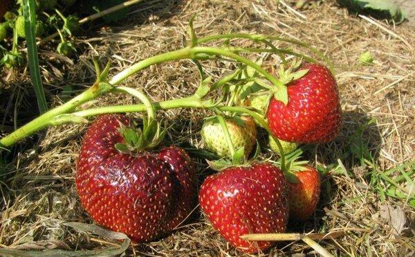 Гибрид земклубника: клубника и земляника в одной ягоде