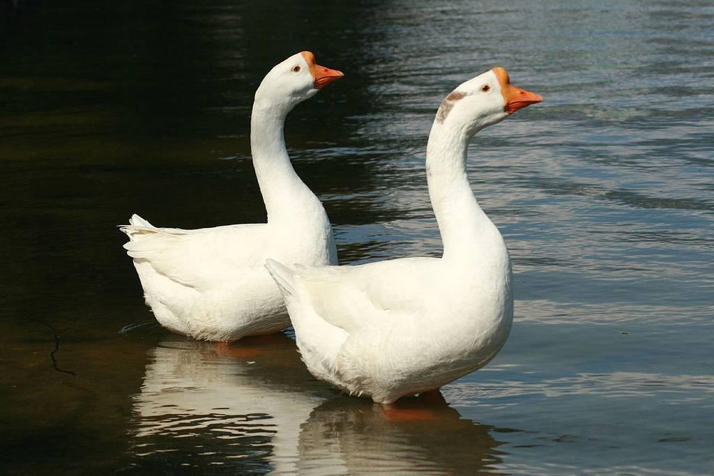 Содержание и выращивание гусей в домашних условиях