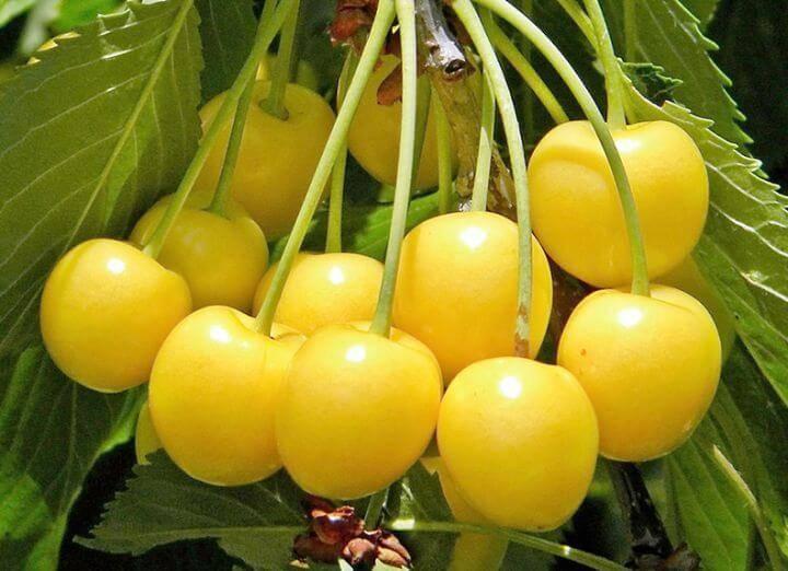О черешне Приусадебной желтой: описание и характеристики сорта, посадка и уход