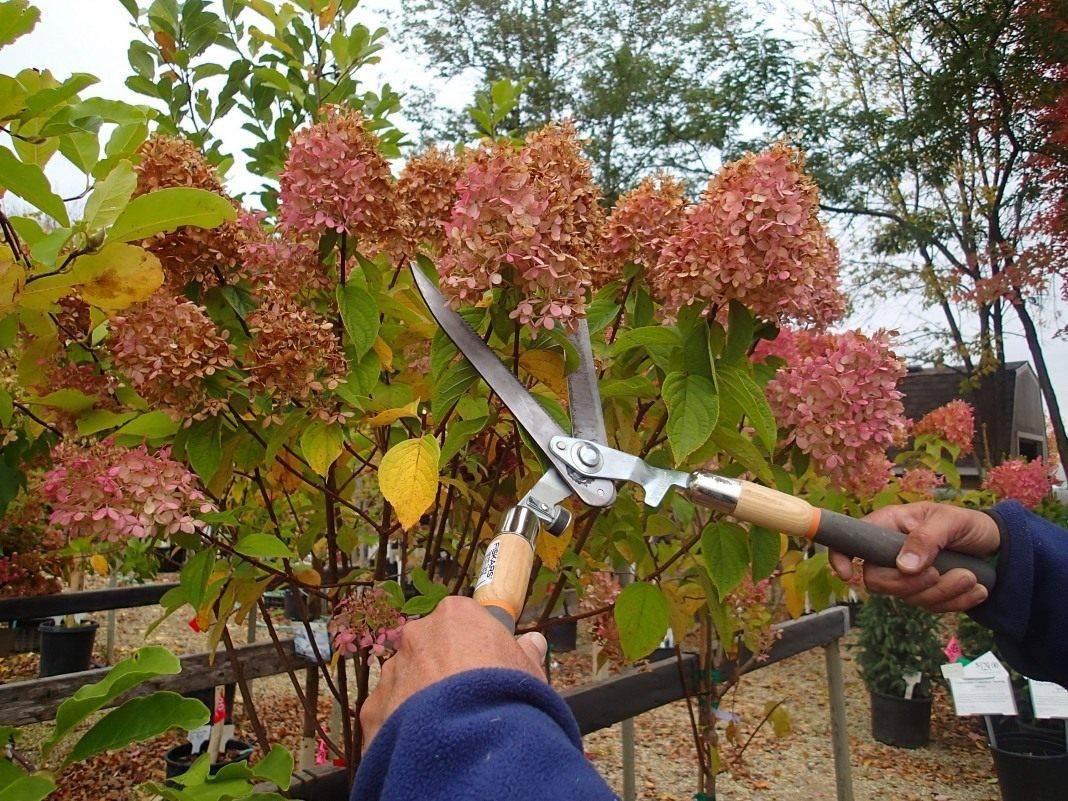 Уход за гортензией осенью: правильная подготовка куста к зиме