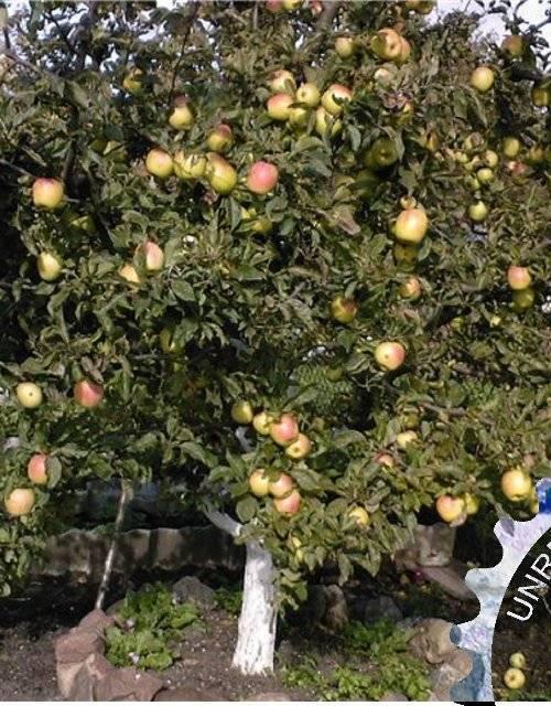 Яблоня на карликовом подвое. что такое подвой для яблони