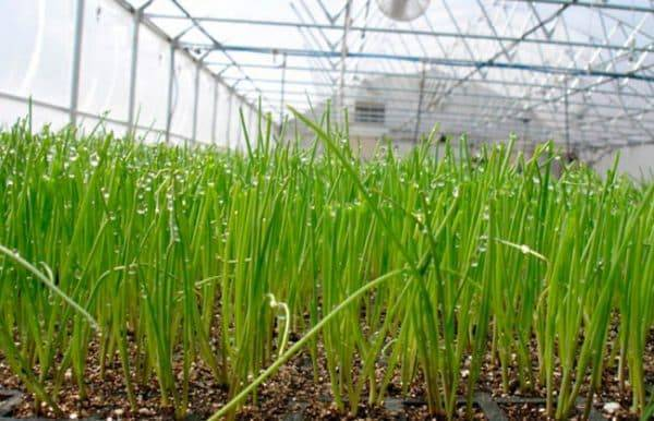 Все о посадке лука на зелень в теплице: методы выращивания зеленого лука