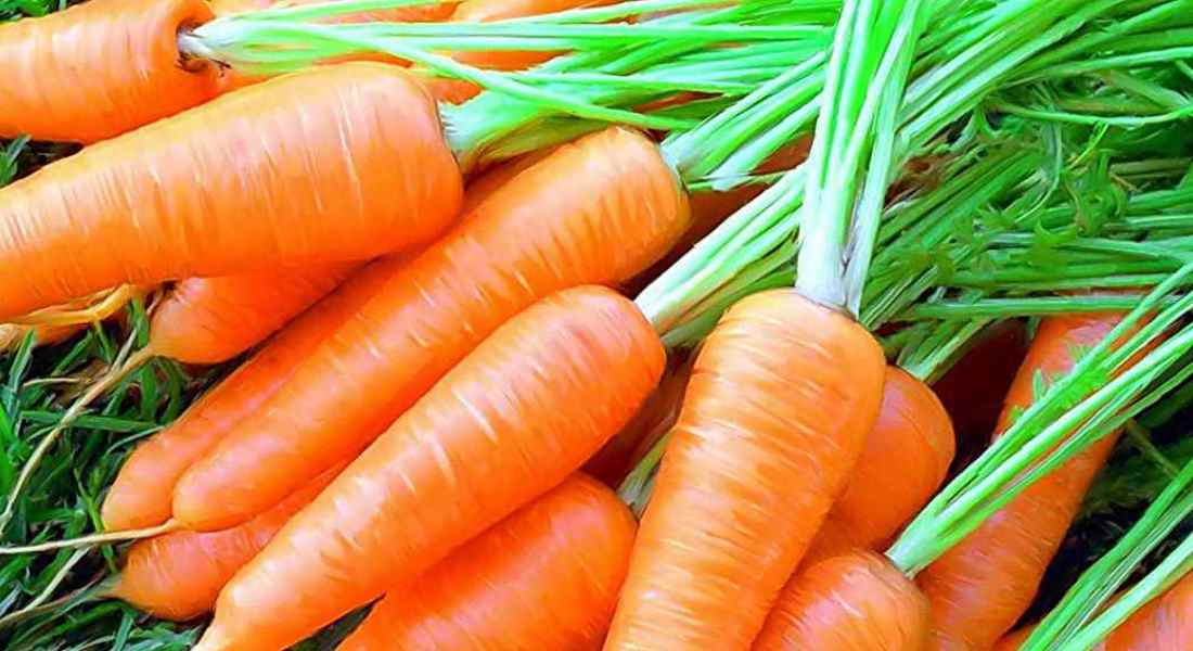 Посадка моркови весной в открытый грунт семенами