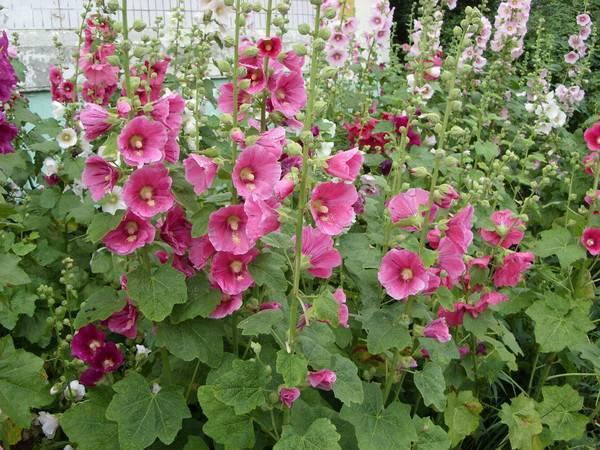 Как посадить мальву многолетнюю: уход и выращивание в открытом грунте