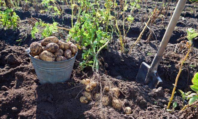 Как подготовить почву под картофель весной, обработка земли, глубина вспашки