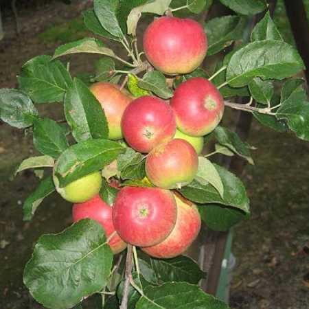 Яблоня мантет: описание, посадка