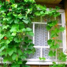 Неприхотливое украшение участка – декоративная вьющаяся фасоль: сорта, выращивание, уход
