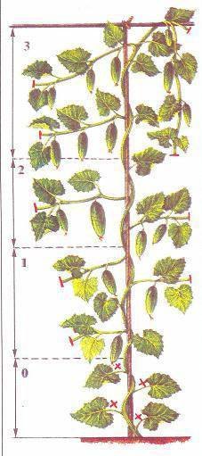 Выращивание огурцов в теплице - формирование куста, правила обрезки