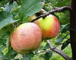 Сорт яблони синап и его разновидности: высокий урожай при минимальном уходе