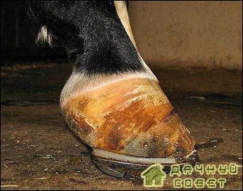 Профилактика болезней копыта у коров