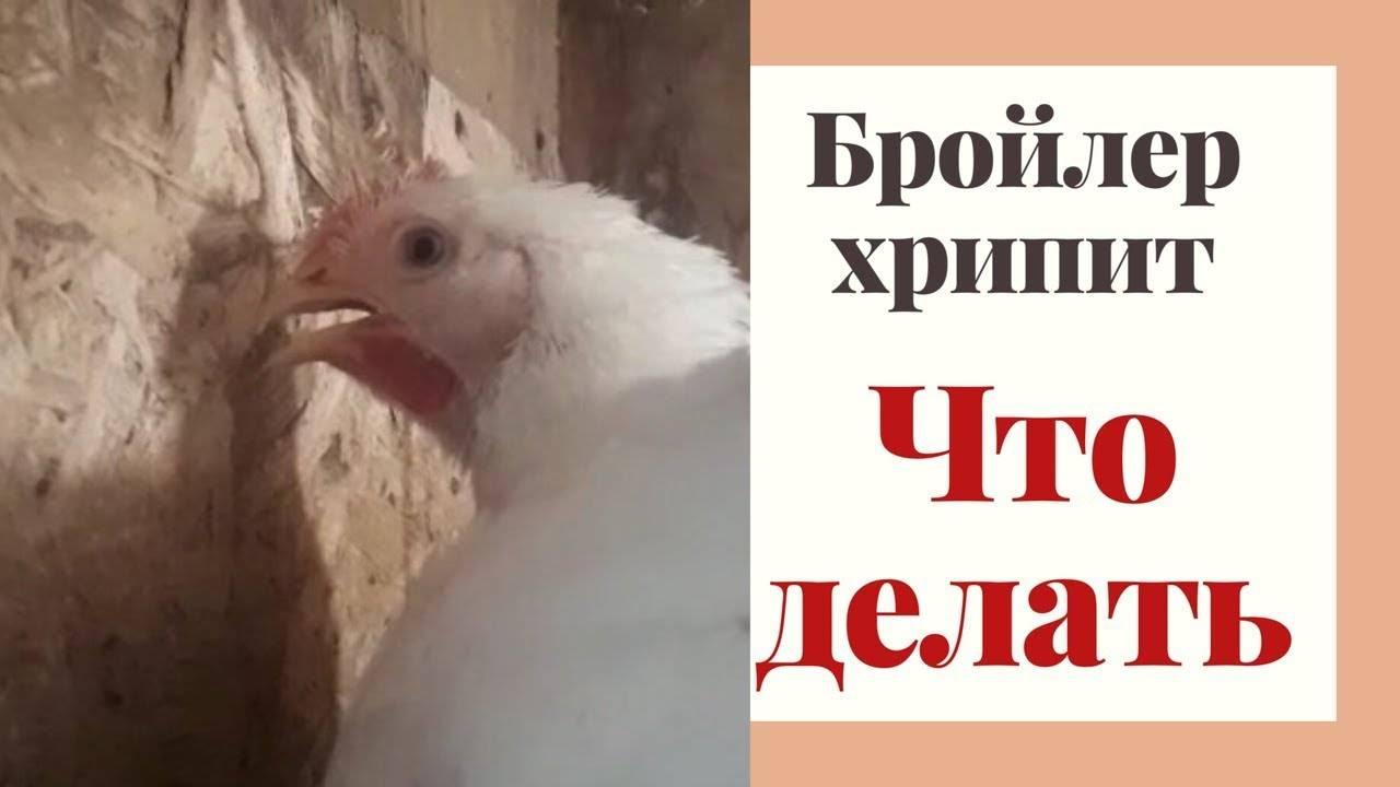 Цыплята чихают и хрипят: чем лечить