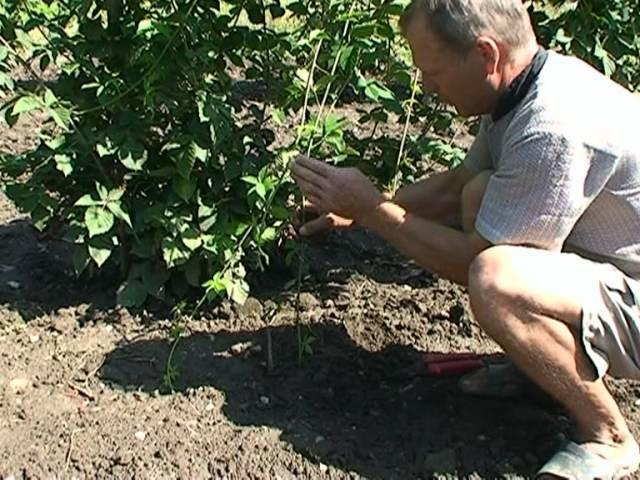 Как сажать и выращивать ежевику на приусадебном участке