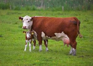 Подготовка к родовспоможению и оказание акушерской помощи, исследование роженицы - помощь при патологических родах коров