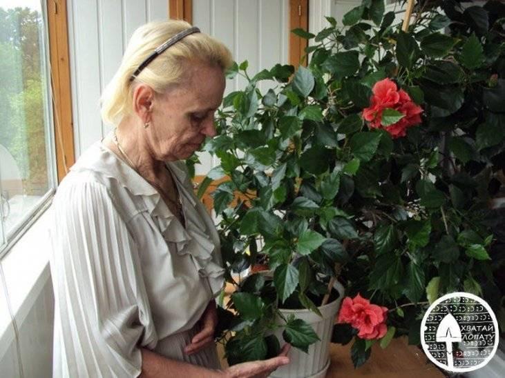 Cирийский гибискус садовый выращивание, уход и видео