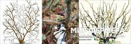 О голубике Либерти: описание и характеристики сорта садовой голубики, посадка и уход