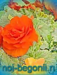 Посадка бегонии в домашних условиях: фото цветка, пошаговая инструкция правильного размножения отростком и другими способами, выбор горшка и грунта после покупки