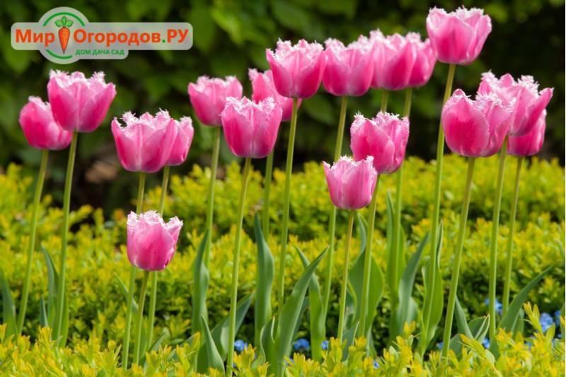 Цветение тюльпанов закончилось, как быть дальше?