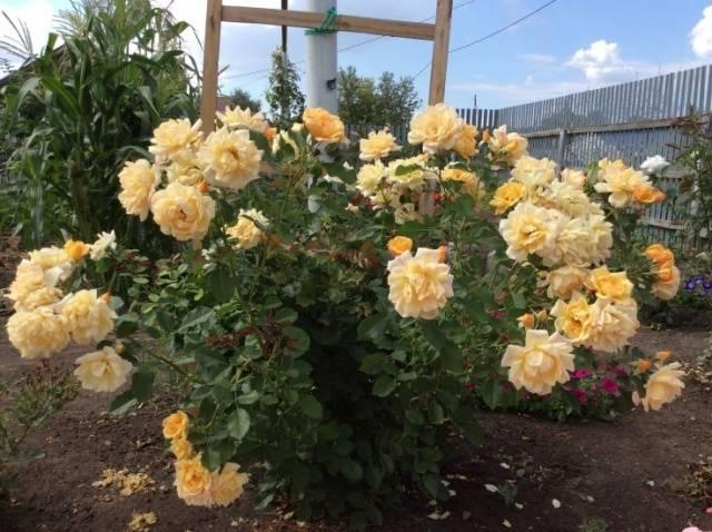 Сорт розы полька