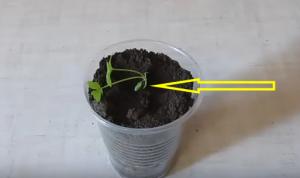 Все о пикировке сельдерея корневого: как правильно пикировать рассаду