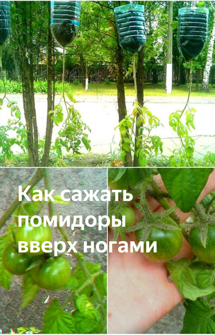 Выращивание помидоров вверх корнями