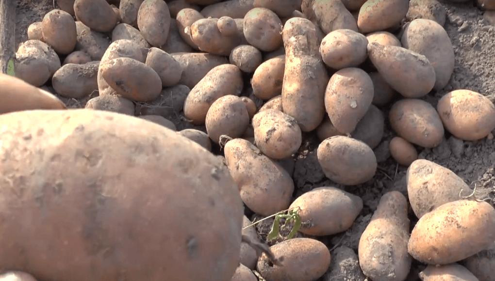 Картофель чугунка: описание и характеристика, агротехника посадки и уход