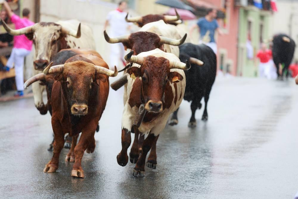 Кастрированный бык: возможные причины кастрации, описание процедуры, назначение и применение вола в сельском хозяйстве