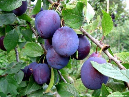 «анна шпет», слива: описание сорта, особенности выращивания и отзывы