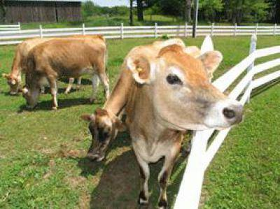 Жирность коровьего молока в процентах: определение и повышение