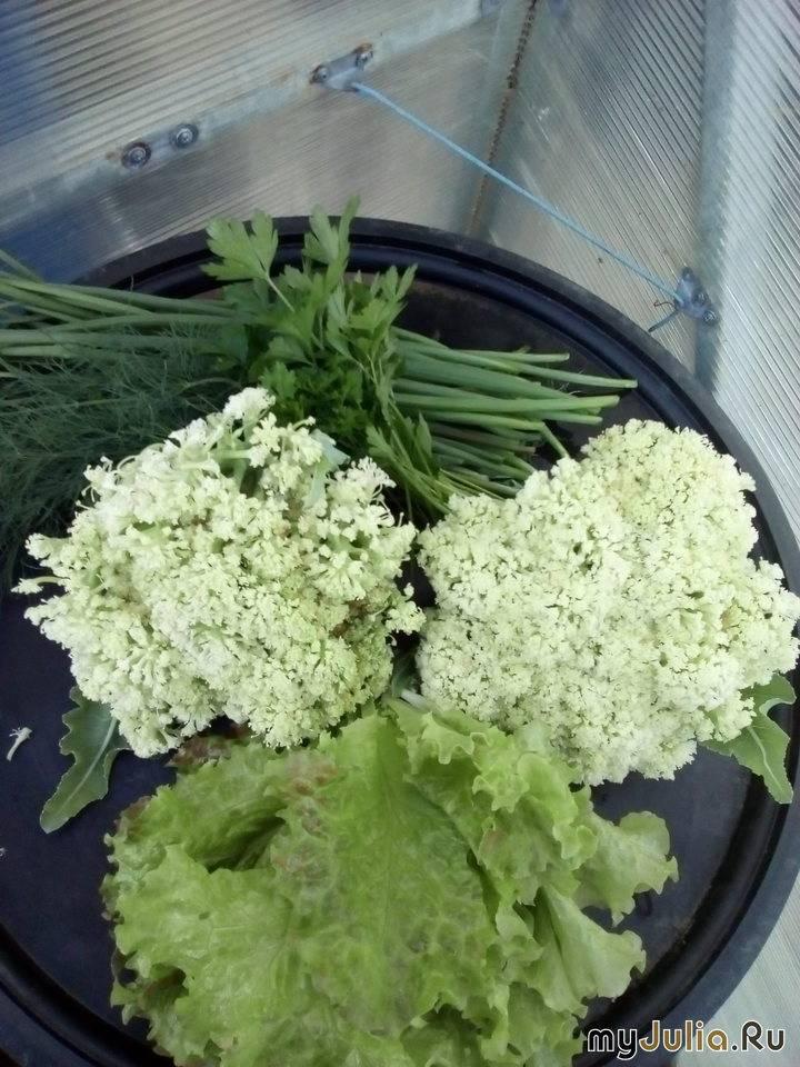Цветная капуста — украшение стола и огорода