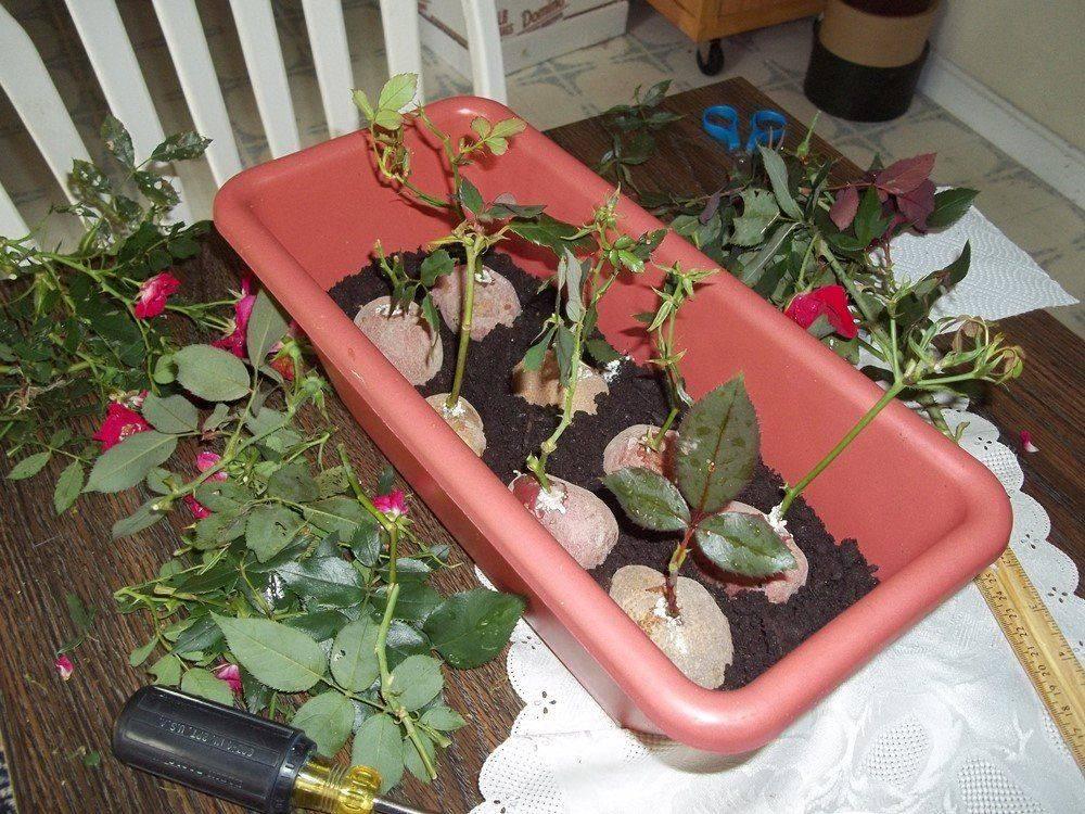 Размножение роз черенками зимой