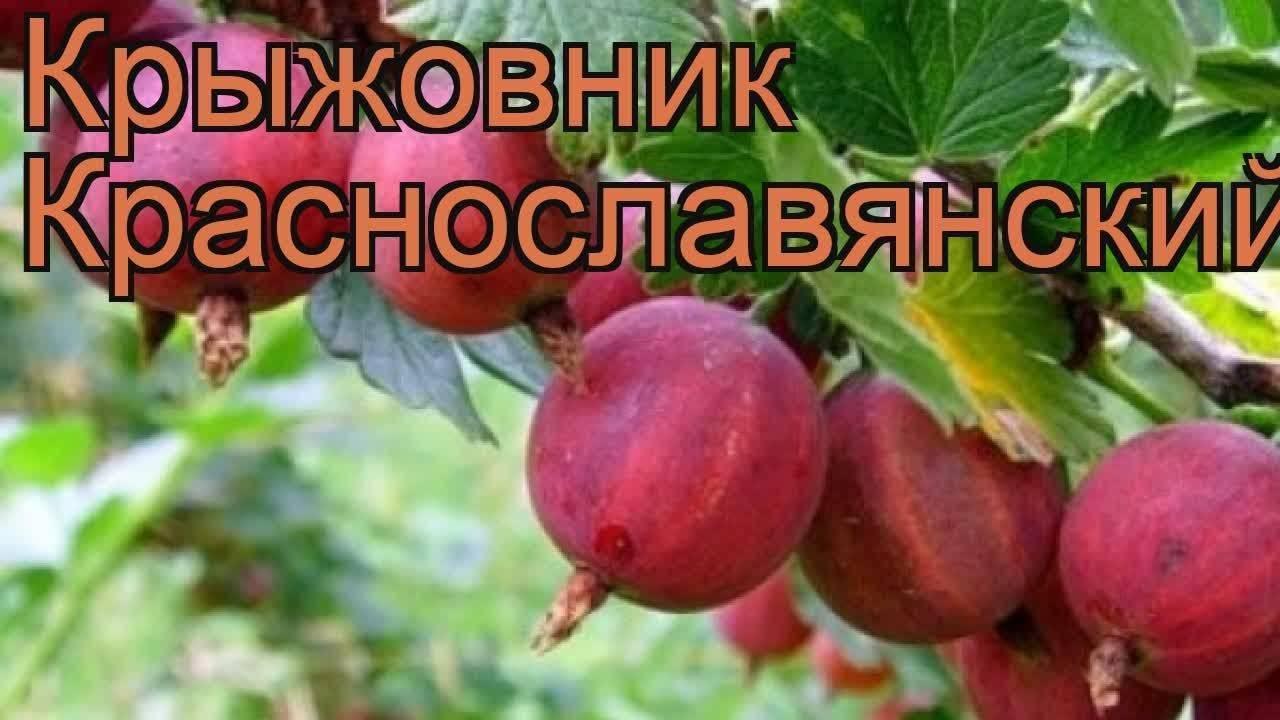 Крыжовник янтарный: характеристика, особенности выращивания и размножения