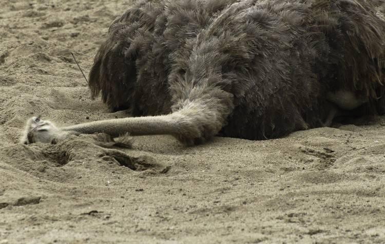 Почему страус прячет голову в песок