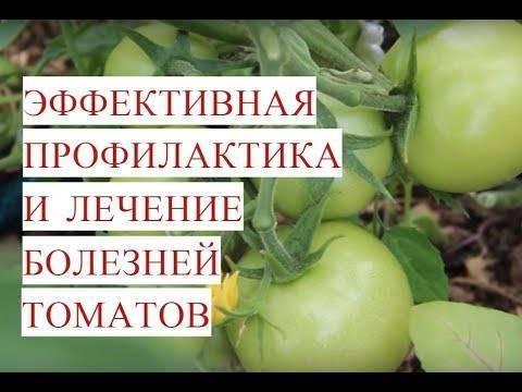 Описание болезней рассады томатов и способы их лечения. меры профилактики