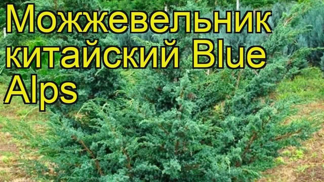 Можжевельник скальный (45 фото): описание сортов «блю арроу» и «фишт», болезни и вредители. какую почву любит можжевельник? обрезка и применение в ландшафтном дизайне