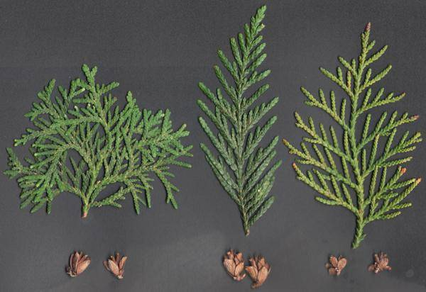 Туи (36 фото): как выращивать дерево? особенности ухода за декоративным растением. как развести тую на урале? как выглядит покрытосеменная туя?