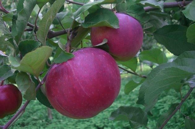 Яблоня апорт: описание сорта и фото, характеристики и особенности выращивания, болезни и вредители