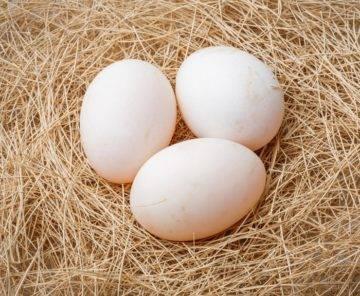 Сколько сидят гуси на яйцах